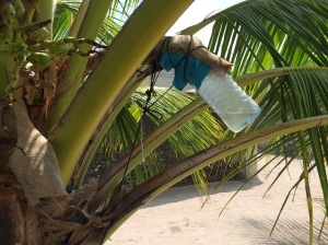 Collecting palm sap which makes for a sweet and refreshing drink